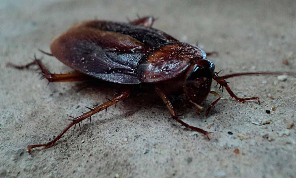 Empresa de control de plagas Cucarachas