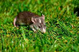 Control de plagas de roedores - Tratamientos DDD