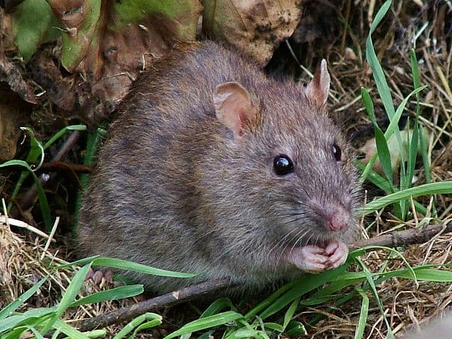Control de plagas de roedores-desratizacion