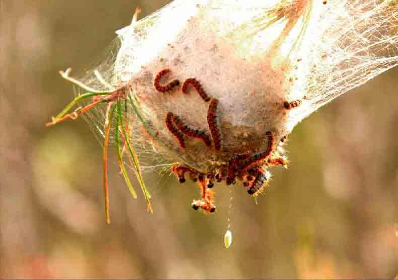 Control de plagas de insectos procesionaria del pino