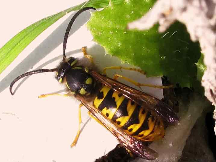 Control de plagas en primavera-avispa