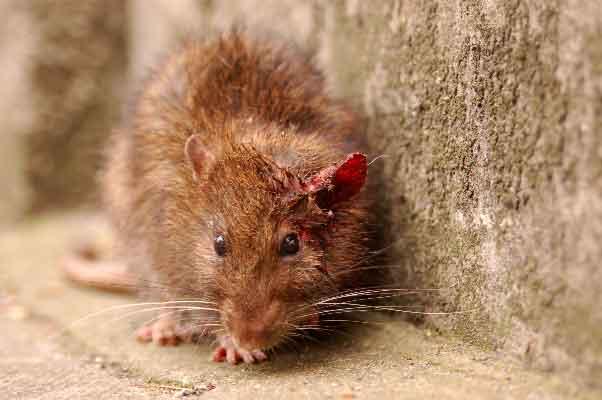 Empresas de control de plagas - Ratas